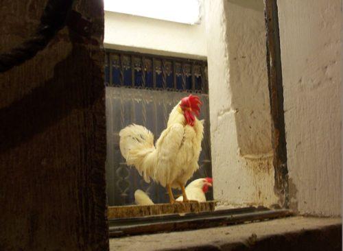 gallo en la catedral de santo domingo de la calzada