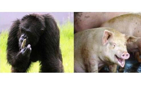 chimpance y cerdo