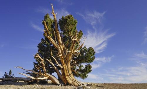 matusalen en california, tien mas de 4800 años