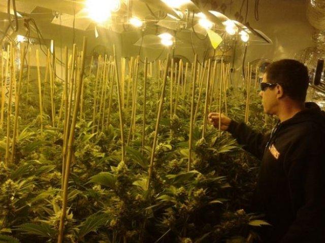 plantio de cannabis