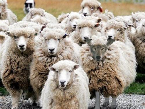 lobo con ovejas