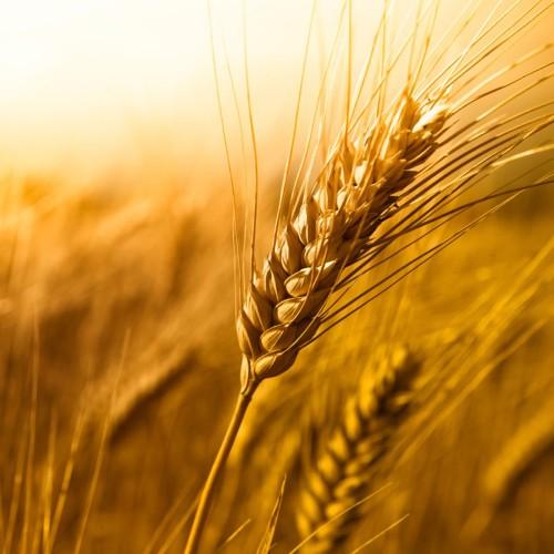 espiga de trigo