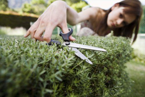 podando un arbusto con tijera
