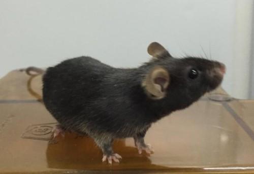 raton fruto de esperma artificial