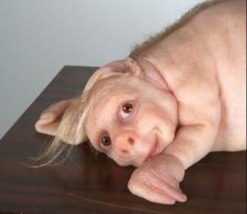 hibrido hombre cerdo