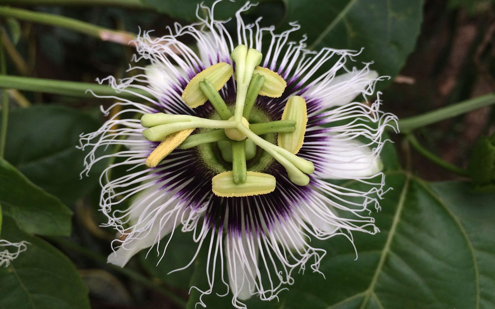 passiflora la flor de la pasion de jesucristo fondo
