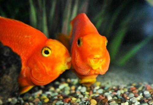 pareja de peces que se aman