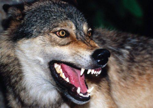 perro gris